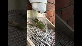 Frog Takes a Shower Under a Water Pipe
