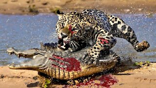 5 animals that could rip a crocodile apart