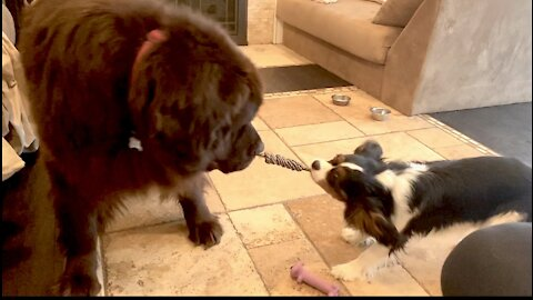 Cavalier beats the odds and defeats Newfie in tug of war