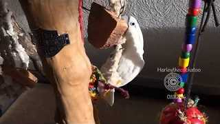 Polite Cockatoo Eats With A Spoon