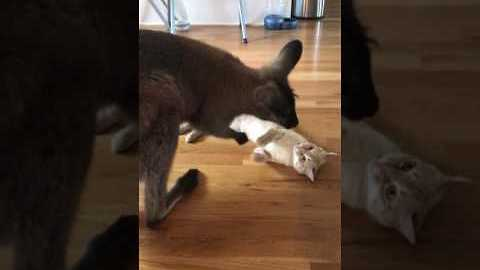 Wild Wallaby vs Courageous Cat: The Must-See Battle of the Year