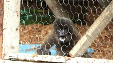 Rescued baby monkey throws temper tantrum when caretaker leaves