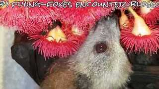 Orphaned Baby Bats Enjoy Smelling Flowers - Video