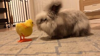Grumpy Bunny Constantly Kicks Away Toy Chicken