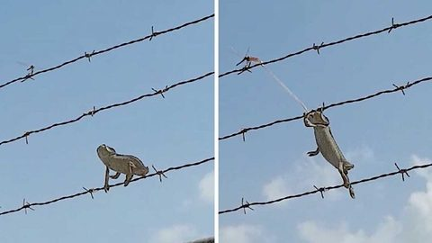 Patient Chameleon Waits For The Right Moment To Catch Its Prey