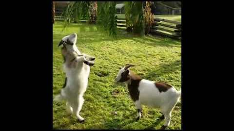 Kid Goat Gets Headbutted By Pal