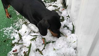 Sausage Dog Inspects Hail After Southeast Queensland Storm