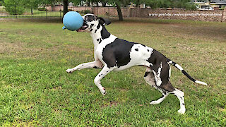 Training A Funny Great Dane To Stay While He Plays