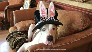 Max the Great Dane Models Rabbit Bunny Easter Ears Hat  - Video