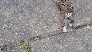 Cute mole gets stuck in pavement - Video