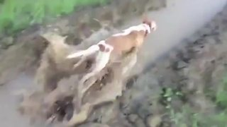 """Dog Jumping in Hige Muddy Puddle"""