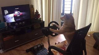Shiba Inu is a hardcore gamer! - Video