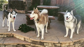 Pack of rescued huskies enjoys the spring breeze