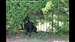 Funny Great Danes Play Hide And Seek With Pointer Dog Friend