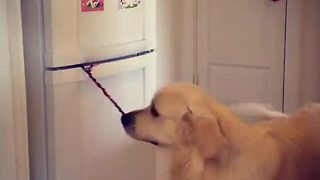 Clever Dog Fetches Beer From Fridge And Remembers To Close The Door - Video