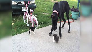 Great Dane Plays with Kittens - Video
