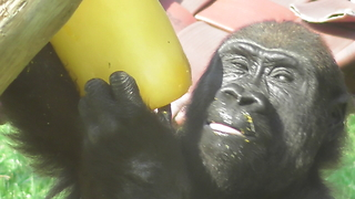 Gorilla Youngster Cures Sweet Tooth Feasting On Giant Popsicle - Video