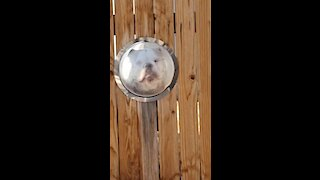 Check Out This Bulldog Looking Out Of His Personal Bubble Window