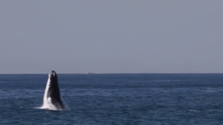 Whales Breach Off Sydney's Northern Beaches - Video
