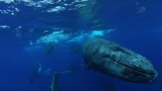 Whales filmed racing to mate!