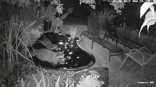 Raccoons get chased out of pond by rival gang - Video