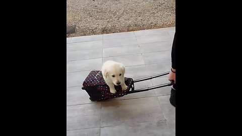 Eager puppy really wants to go to school!