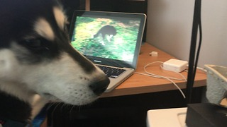 Narcissistic husky goes crazy over video of himself