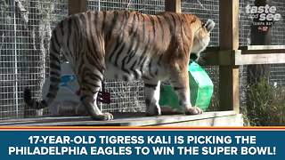 Big Cat Rescue tigress makes Super Bowl pick - Video
