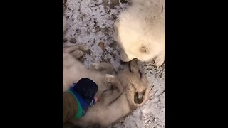 Arctic fox adorably enjoys belly rubs