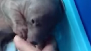 Orphaned Baby Wombat Plays With Adopted Mother - Video