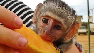 Adorable rescued baby monkey having breakfast