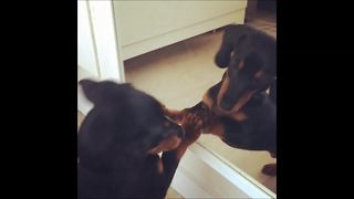 Puppy really wants to play with mirror reflection - Video