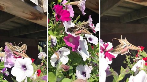 Footage of moth extracting nectar from flowers goes viral after three year search