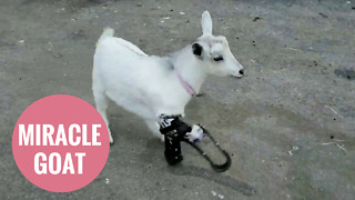 Little goat whose legs were chewed off runs for the first time - Video