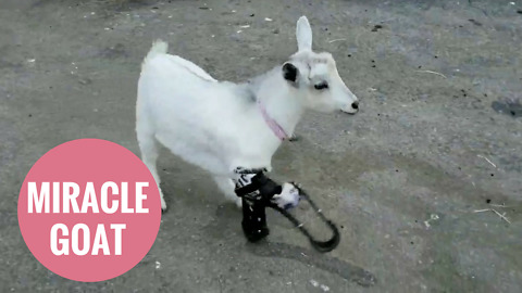 Little goat whose legs were chewed off runs for the first time