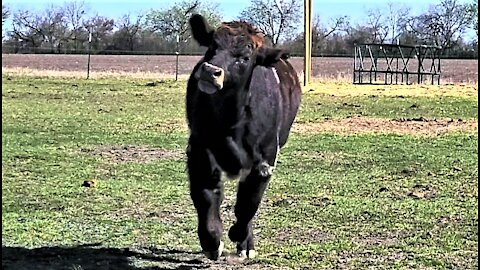 Rescued cow comes running when called by his name