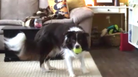 Talented Dog Treats Squeaky Toy Like Musical Instrument