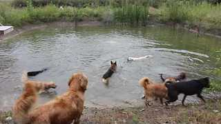 Group of Dogs Have Whale of a Time in Local Pond - Video