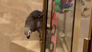 Fearless parrot daringly slides down shower door