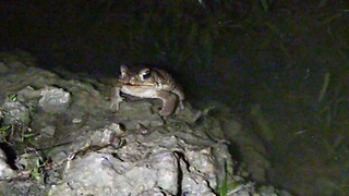 Mating Rituals of Frogs - Video