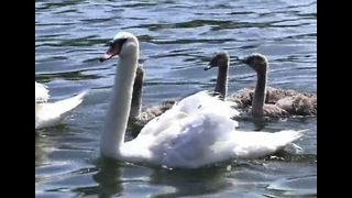 Counting Swans and Cygnets - Video