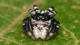 This Tiny Jumping Spider Cured Our Arachnophobia  - Video