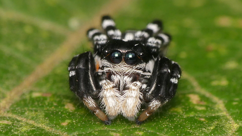 This Tiny Jumping Spider Cured Our Arachnophobia