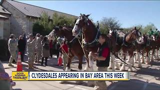 Budweiser Clydesdales making appearances in Tampa Bay area ahead of the Gasparilla Pirate Fest - Video