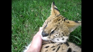 Adorable serval loves his human friend