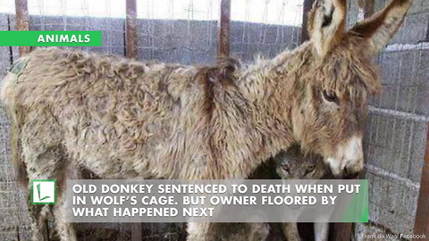 Old Donkey Sentenced to Death When Put in Wolf's Cage. But Owner Floored by What Happened Next