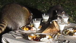 Wild raccoon celebrates Thanksgiving with his friends - Video