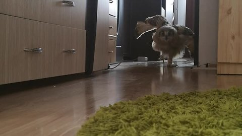 Pet Owl Comes When Called By Owner