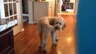 Good Dog Catches His Tail - Video