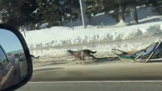 Team of Dogs Pull Empty Sled Along Alaska Freeway - Video